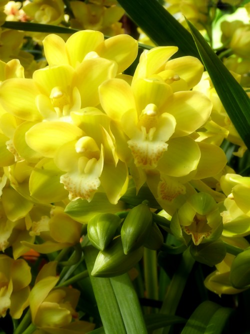 pale yellow green orchids