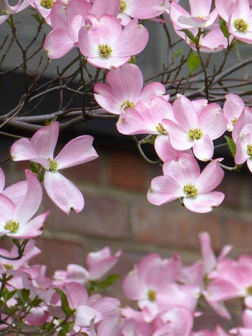 dogwood blossoms in the springtime