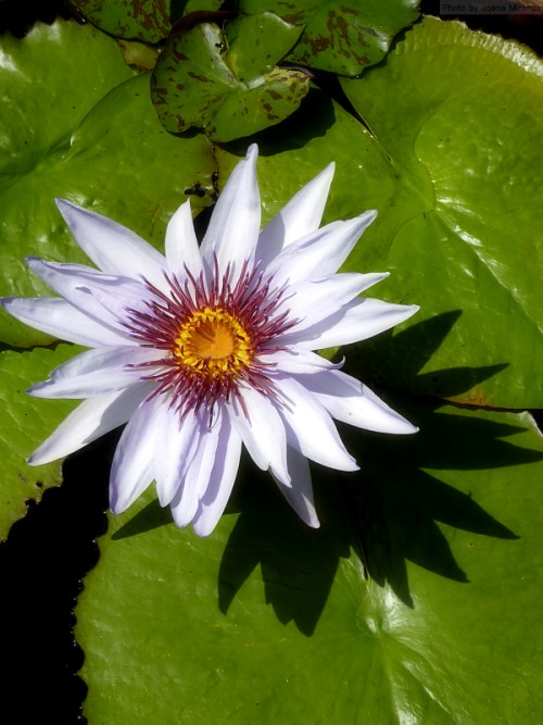 Lily and lily pad