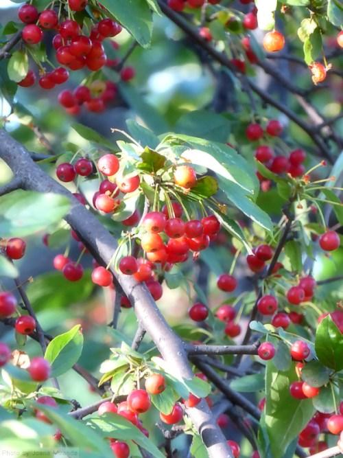 red-tree-berries