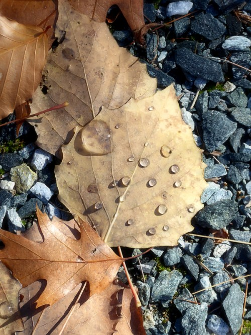 fallen-fall-leaf-with-dew-drops