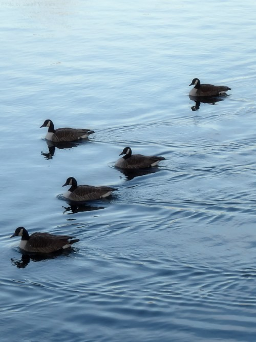 geese-on-the-jackie-o-reservoir