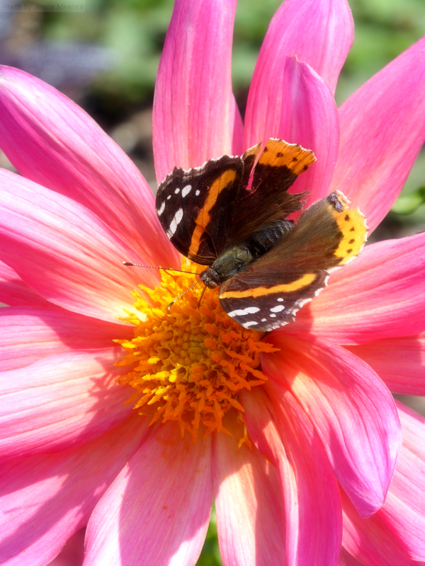 Photo of a butterfly perched on the center of a pink daisy, taken by Joana Miranda