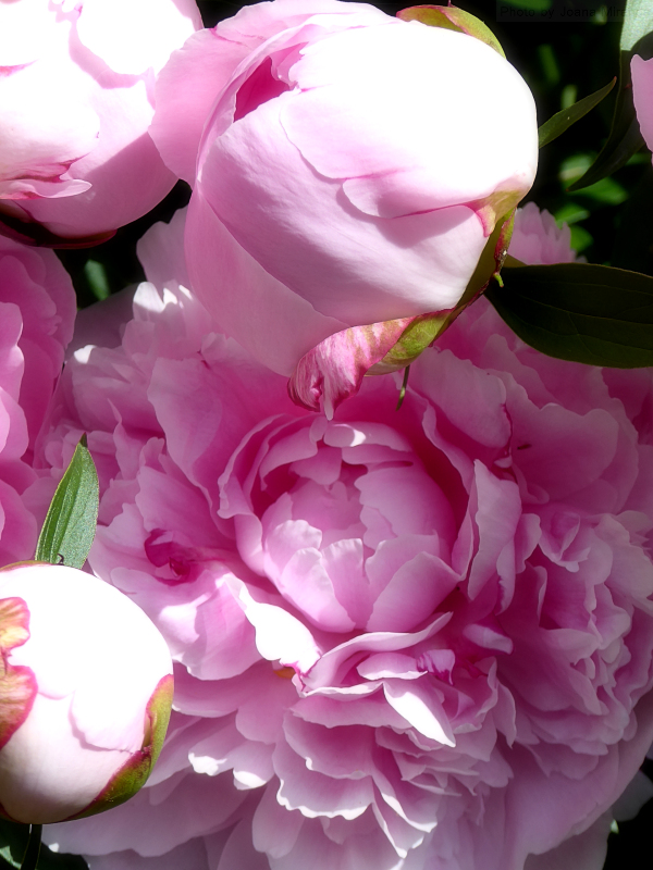 Photo of pink peonies taken by Joana Miranda