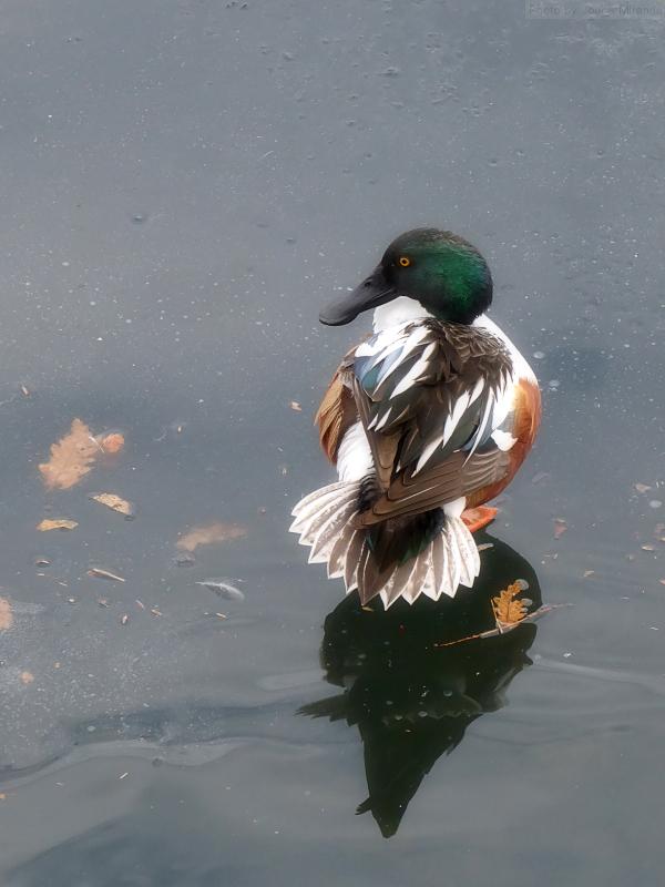 Photo of a Mallard duck preening on Jackie O reservoir, taken by Joana Miranda