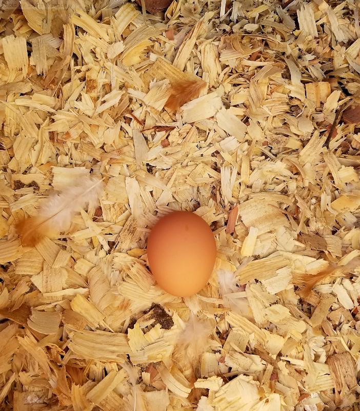 Photo of freshly laid hen egg, taken by Joana Miranda