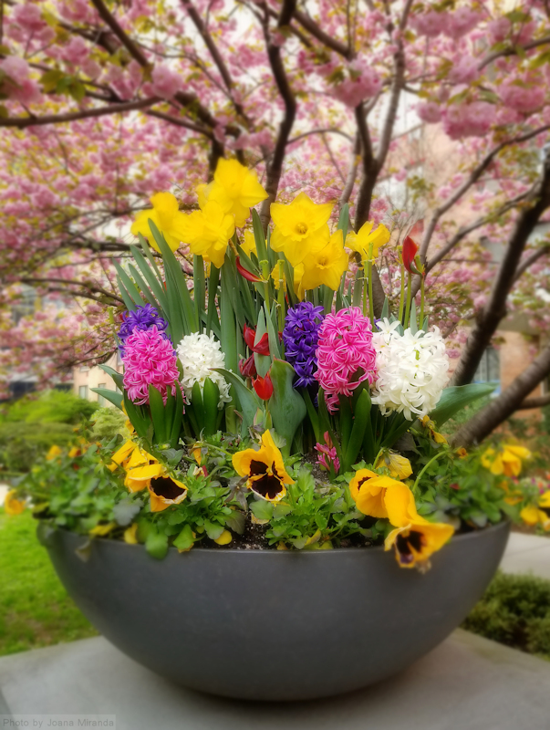 Surrounded by beauty with the flowering trees and flower pots around our neighborhood, photo by Joana Miranda