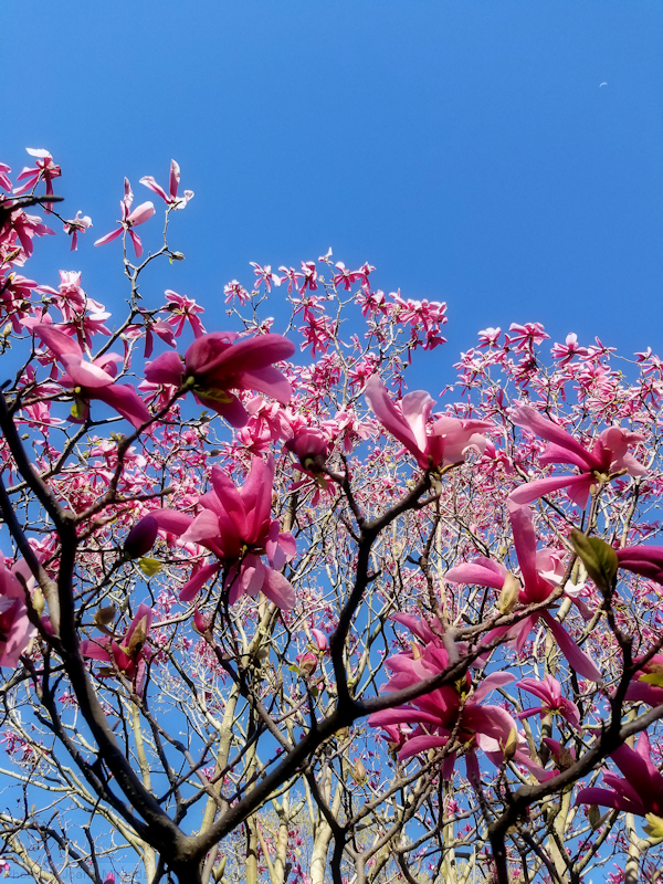 Pink magnolia blossoms against a blue sky in early spring, photo by Joana Miranda