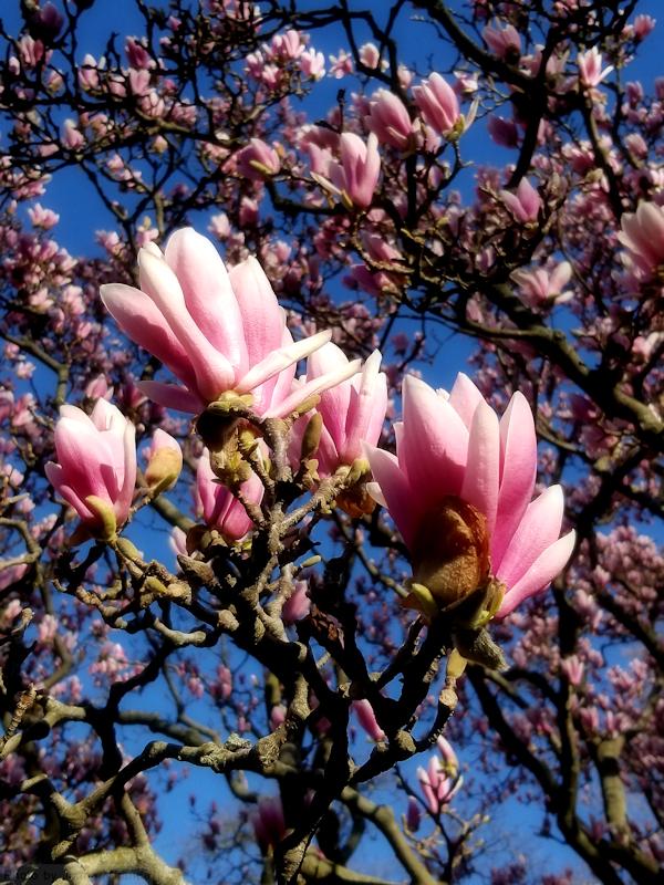 Pink magnolia blossoms at the Conservatory Garden, photo by Joana Miranda