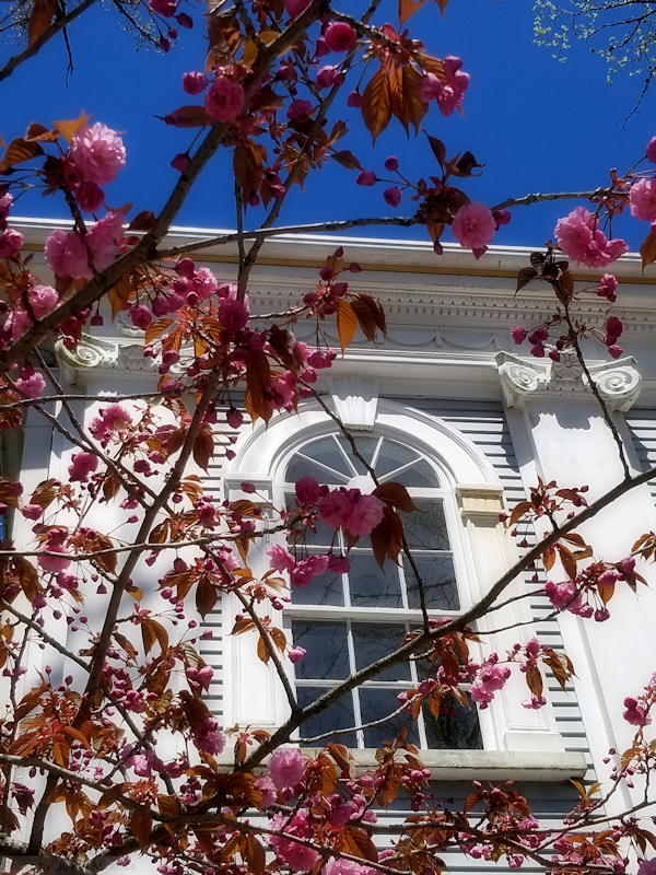 Photo-of-cherry-blossoms-against-an-historic-house-on-Nantucket-taken-by-Joana-Miranda