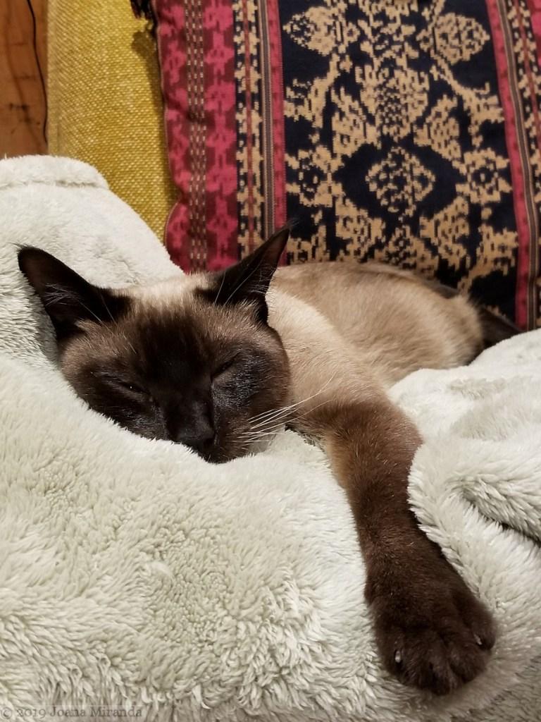 Photo-of-comatose-Siamese-cat-taken-by-Joana-Miranda