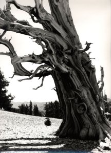2011019 Bristle Cone Pines, CA 2011