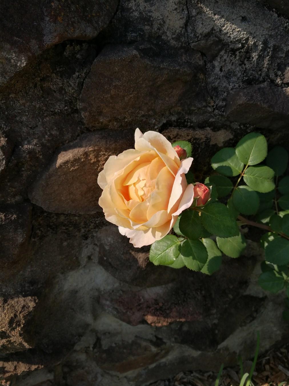 Roses make a comeback