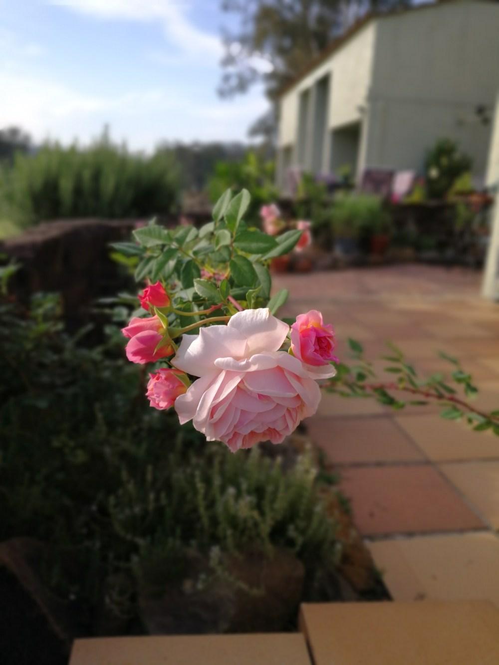 David Austin rose in Queensland Australia William Morris pink