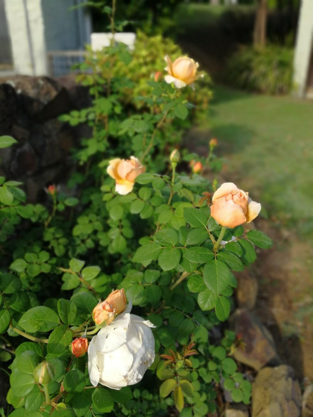 David Austin rose bush in Queensland Australia Charles Darwin apricot colour