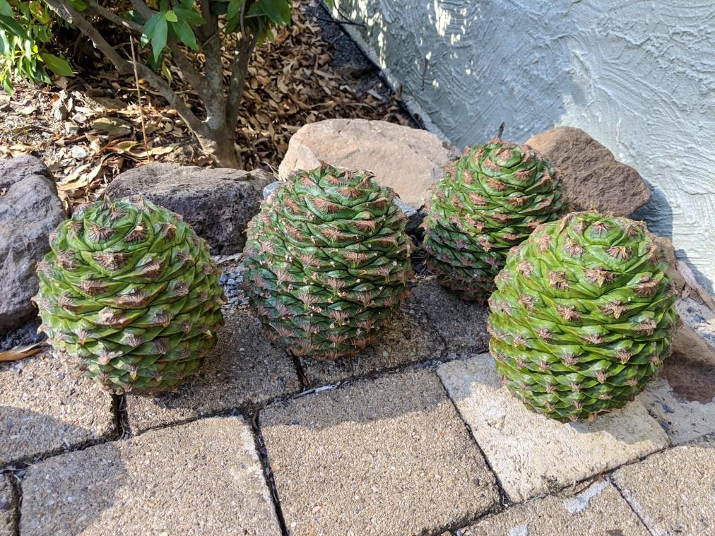 Bunya nuts, bush tucker