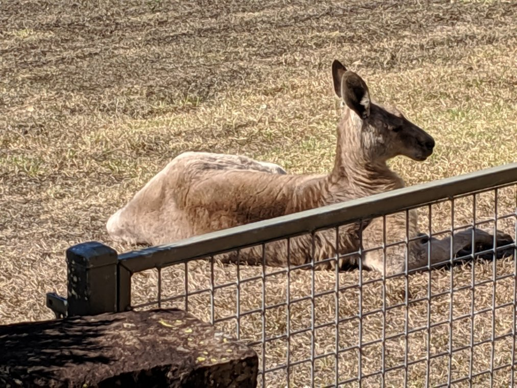 Big roo by the gate
