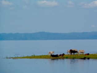 Lake before the mountains plus cows, India. Image copyright Scott Law, used with permission