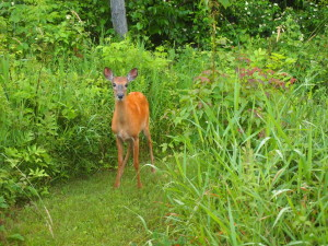 Oh Deer - Nature sightings - Copyright Jo-Ann Blondin