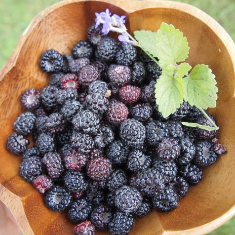 Black Raspberries with lavender and lemon balm. Copyright Jo-Ann Blondin