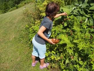 Asha helping out to pick black raspberries. Copyright Jo-Ann Blondin