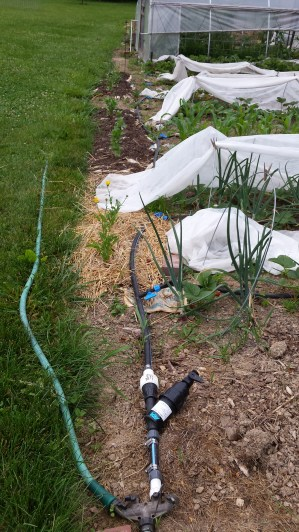 The drip system travels down one side of the garden with side shoots of watering tape in each row.