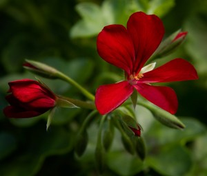Dark Red Blizzard pelargonium peltatum.