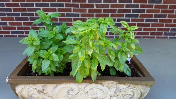 basil planted