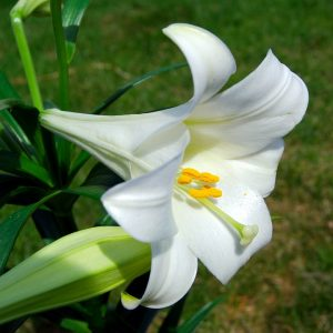 close up Easter Lily bloom