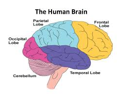 colored sections of the human brain
