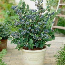 Rabbiteye Blueberry bush