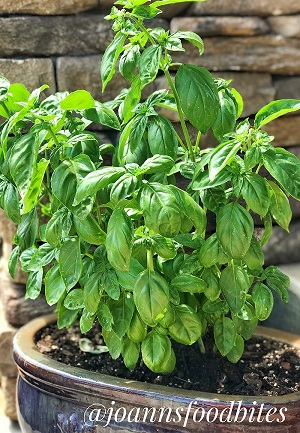 Basil in my container herb garden