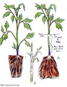 Depth of planting tomatoes