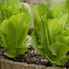 Romaine growing in a garden