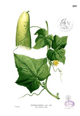 413px-Cucumis_sativus_Blanco2_299