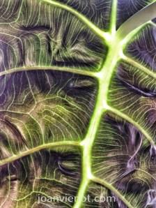 Leaf underside, alocasia polly