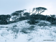 Photograph of Scrub Oaks Following Dune Line