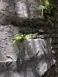 iPhoto of the extreme shadows of the ferns growing out of the Garden District Cemetery wall in New Orleans