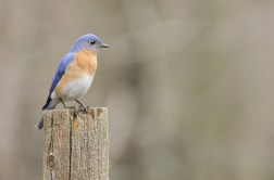 Female Eastern Bluebird (Sialia sialis) on a stump