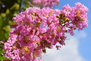 Lagerstroemia indica (crape myrtle, crepe myrtle)