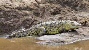 African Croc