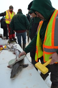 Michigan DNR fisheries biologist Tim Cwalinski scans one of the sturgeon taken during the 2019 Black Lake season to see if it previously had been tagged./