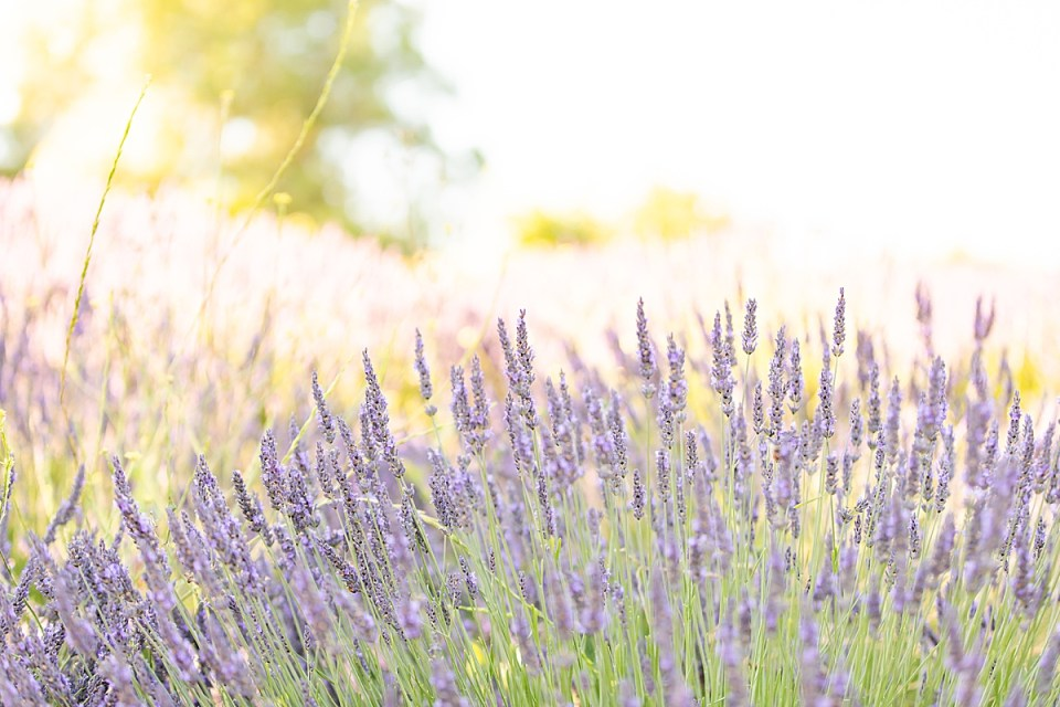 A photo of the lavender fields
