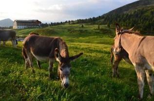 Donkeys at Passo Oclini