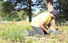 Randy 'Little Supe' Rawlins clears away roots and vines that have overcome graves in the Wilkins Cemetery Saturday morning. Dunn Daily Record Photo