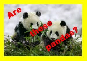Panda JPG (2)