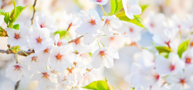beautiful-blossom