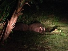 St. Lucia has hippos walking around residential areas, sleeping in people's yards.