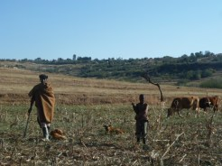 A man and young boy herding their cattle.