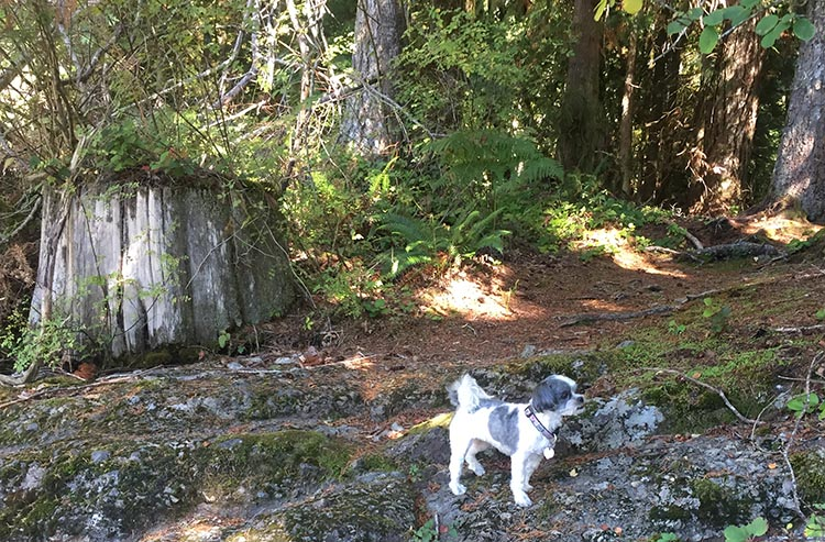 This is Ripley, our Shi Tzu/Maltese, enjoying the smells of a hike
